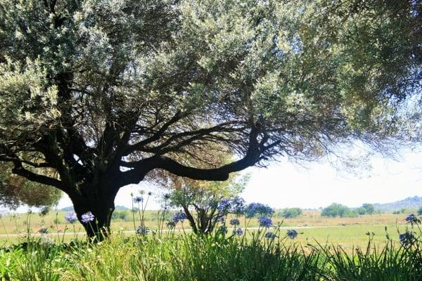 Olivo salvaje o acebuche