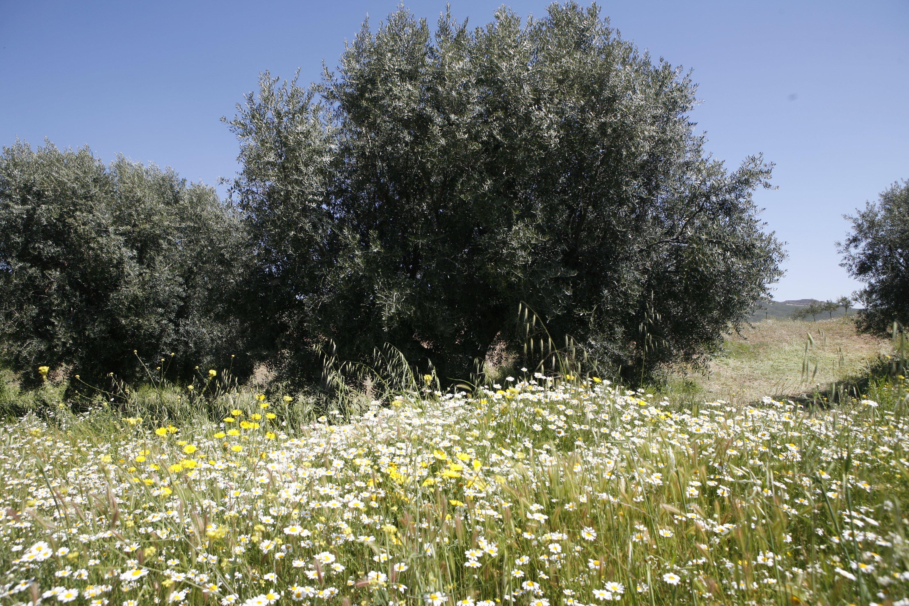 evitar mantener los suelos desnudos en el cultivo del olivo ecológico