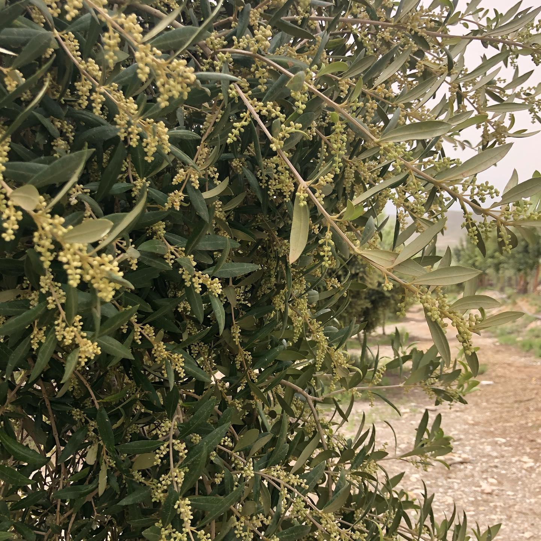 arbequina-orodeldesierto-042021