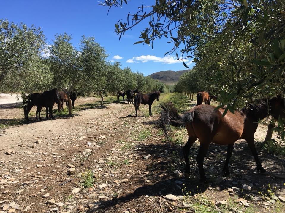 caballos oro del desierto en el olivar