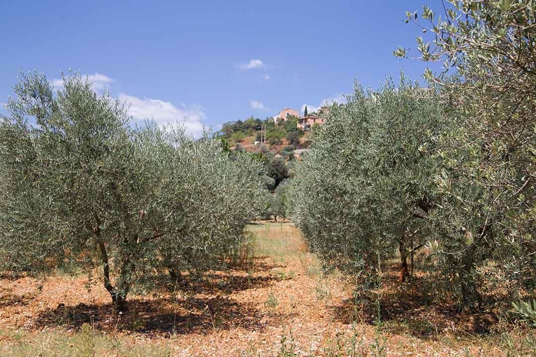 olivar-andaluz-3