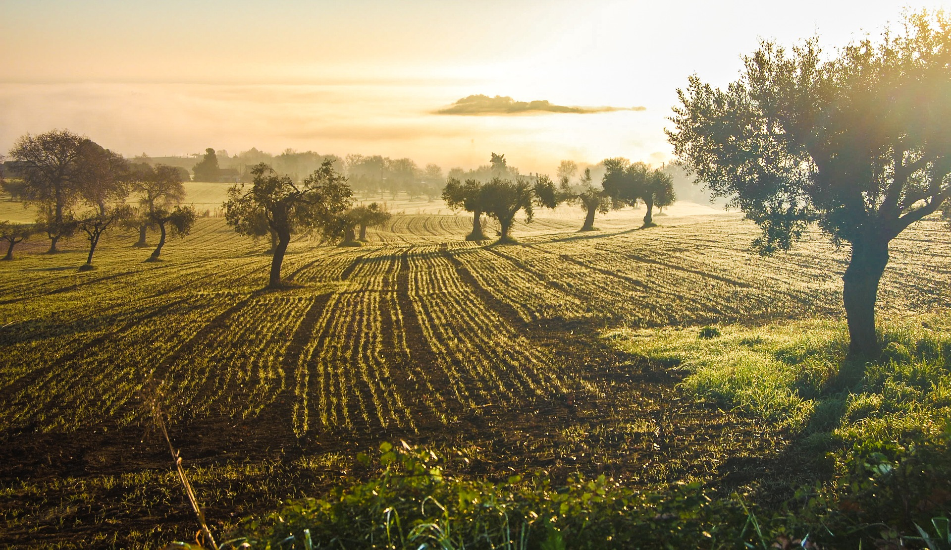 olive-grove-3453760_1920